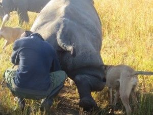 Imire is Milking the Rhino to find out about the rhinos pregnancy and when the baby is due. Traditional Monitoring of Pregnancy in Zimbabwe. Learn More!