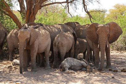 Äußerst seltene Wüstenelefanten am entspannen in Namibia, Eric Paul