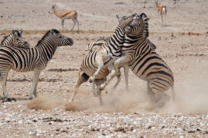 Kämpfende Zebras im Etosha Schutzgebiet, Namibia, Eric Paul