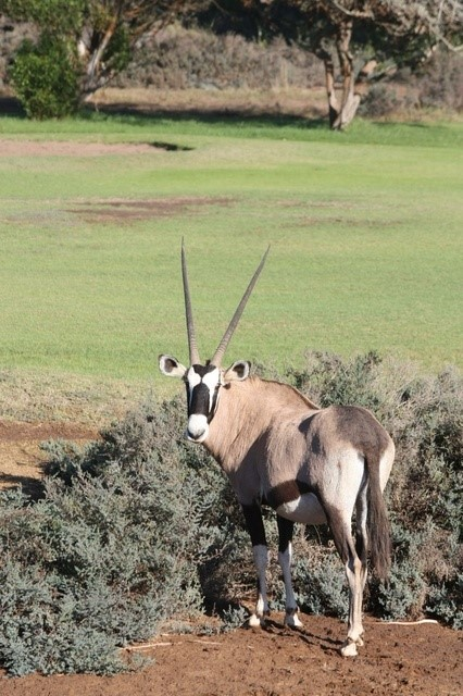 Oranjemund Golf Club, An Oryx watching a round of golf from the rough. Image by Tracks4Africa, Golf Courses of Namibia
