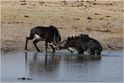 Roan Antelopes fighting next to a waterhole in Hwange National Park, Zimbabwe, while a Hwange Game Count.