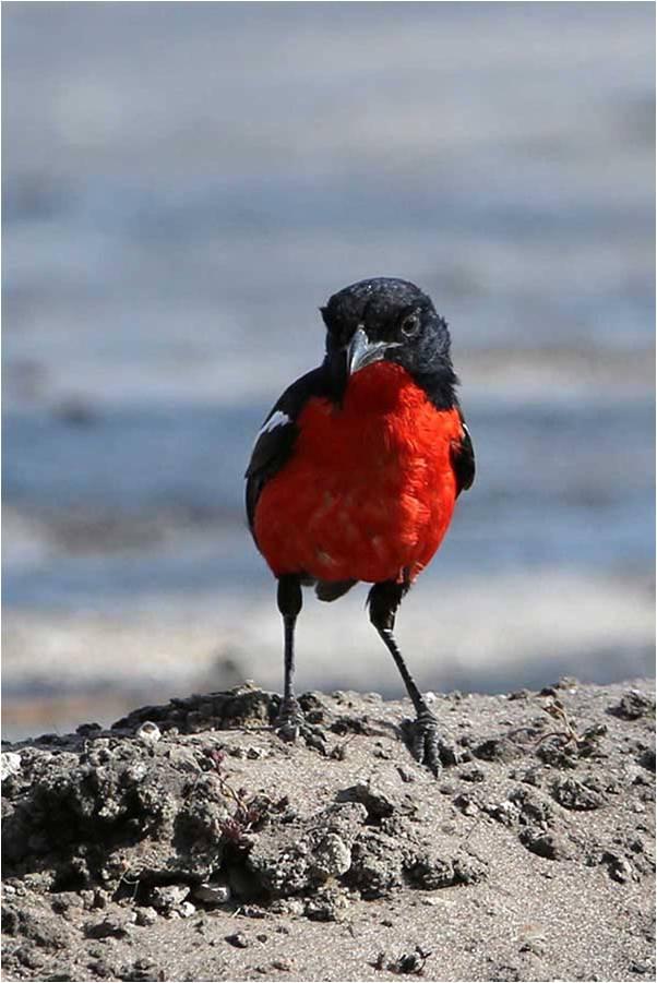 During the Hwange Game Count plenty, colourful Birds were sighted, Hwange, Zimbabwe.