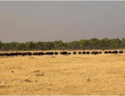 A buffalo herd in Hwange during the Hwange Game Count in Zimbabwe.