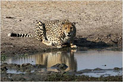 A Cheetah drinking at a Waterhole in Hwange National Park during the Hwange Game Count, Zimbabwe.