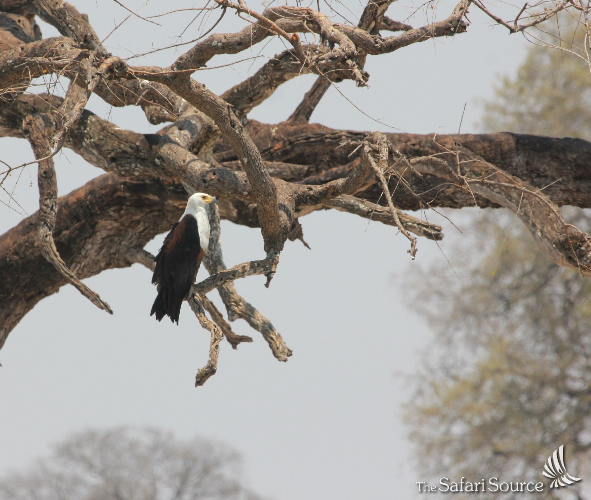 The African Fish Eagle sitting on a Tree in Hwange National Park, Zimbabwe, King of the African Waterways, National Bird of Zimbabwe, Zambia and South Sudan.