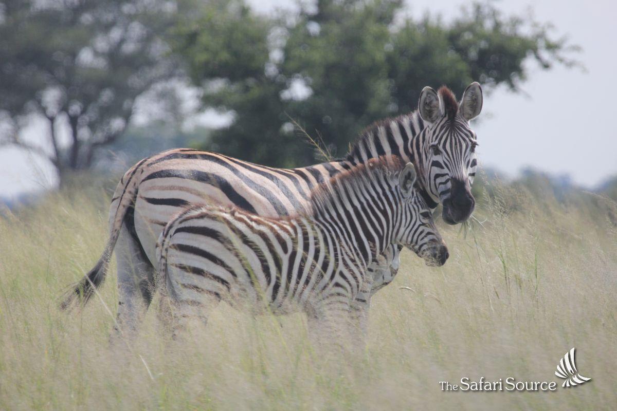 Green Season, also called Baby Season, Zebra Baby with its Mum in Hwange National Park, Zimbabwe.