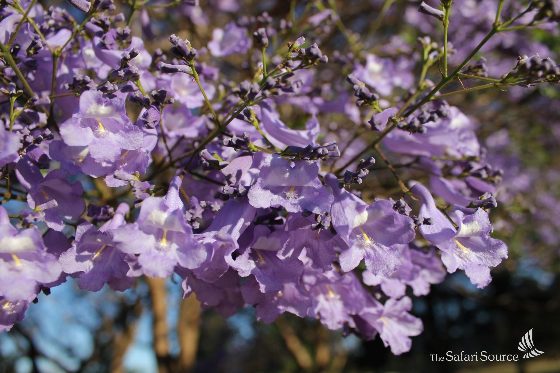 The beautiful Jacarandas are in full bloom to announce the end of the dry season, green season is about to start, Zimbabwe, Southern Africa.