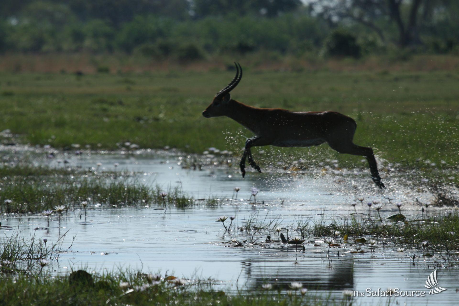 A Lechwe Antelope crossing waters in the Okavango Delta, Botswana.