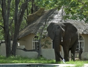 Gwango Elephant Lodge, Chalet and Elephant, Zimbabwe