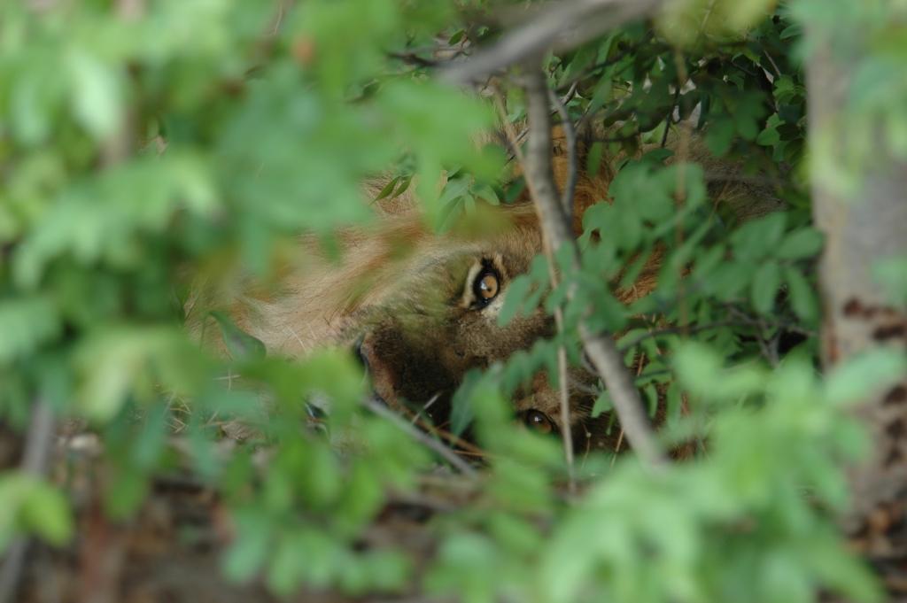 Lion resting in the foliage. Gwango Estate, Hwange