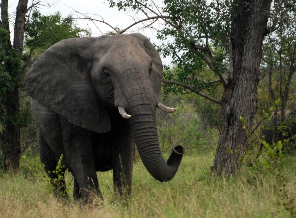 African Elephant, one of the big 5.