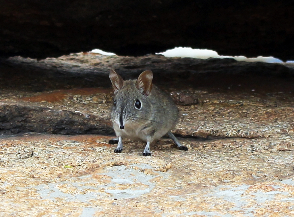 Elephant shrew, one of the little 5.