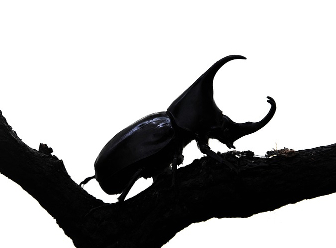 Rhino beetle, one of the little 5.