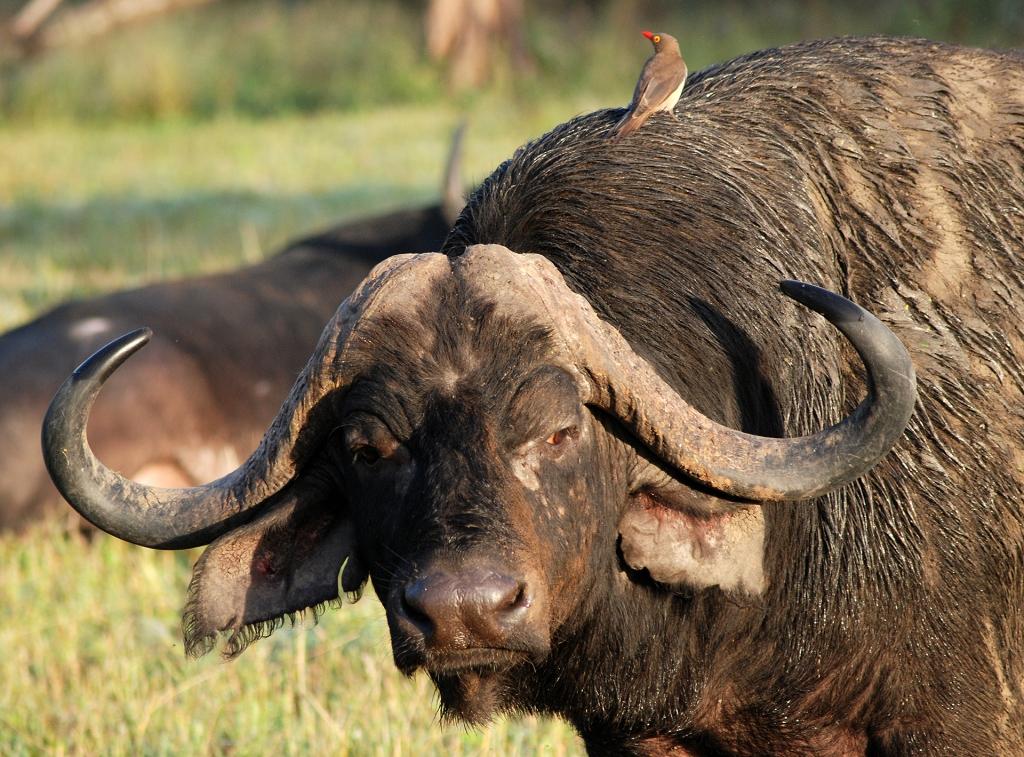 Water buffalo / Cape buffalo, one of the big 5.