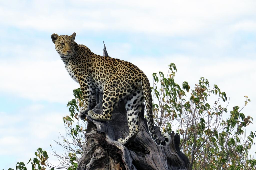 Leopard in Chobe, Botswana.