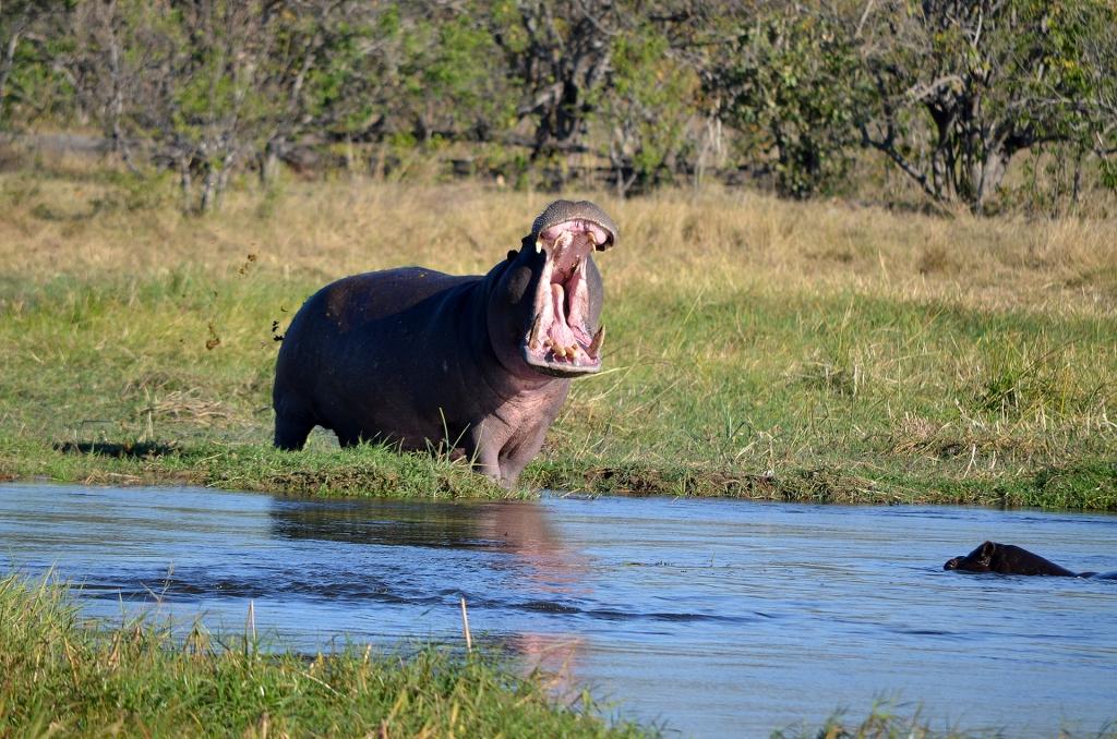 Hippos in Khwai, Botswana.