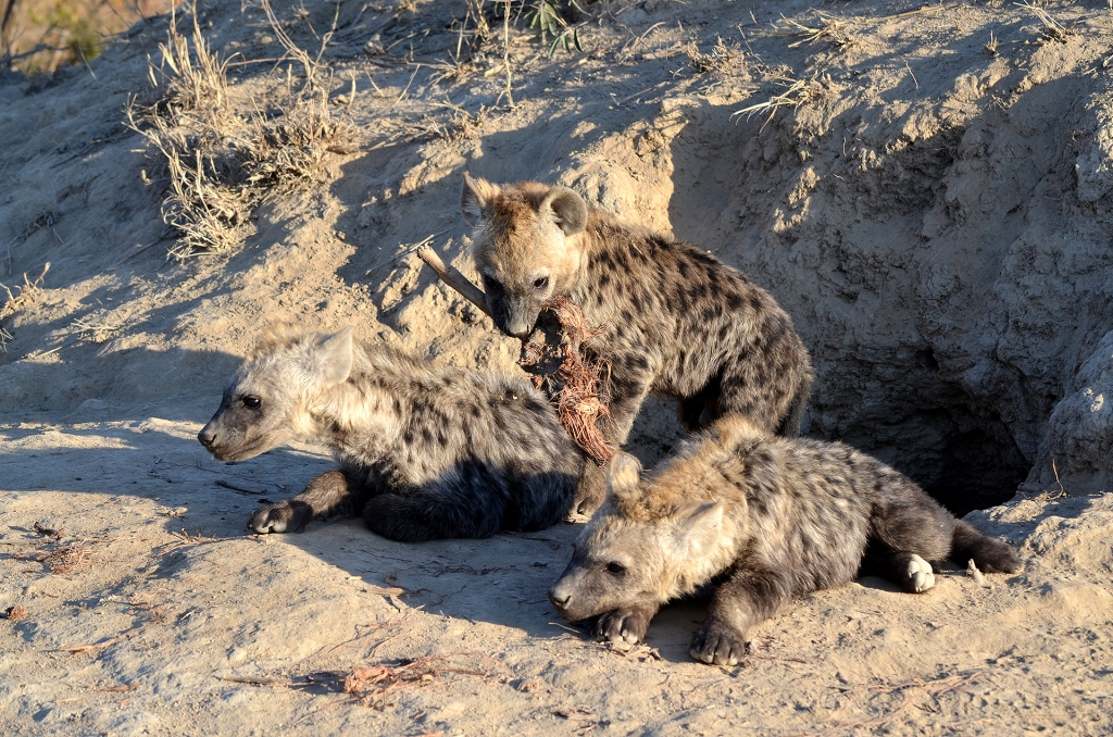 Hyena pups at Simbavati, South Africa.