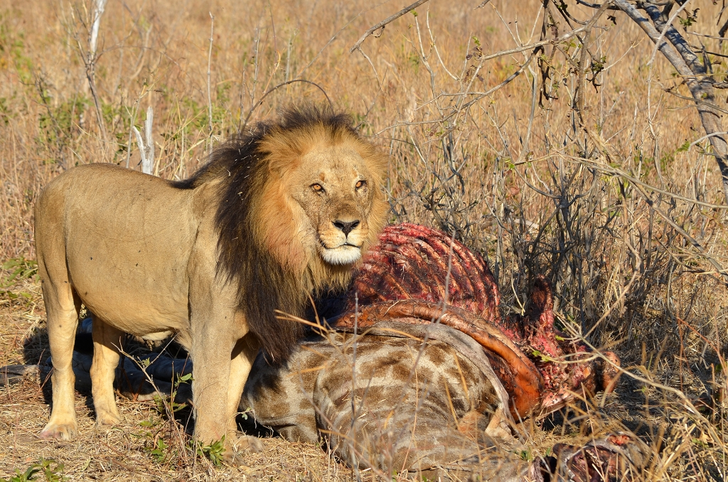 Lion with giraffe kill in Chobe, Botswana.