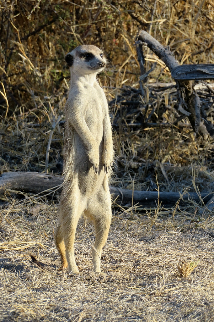 Meerkat at Planet Baoab, Botswana.