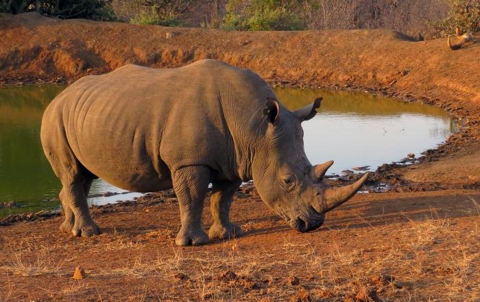 Rhino_Powell