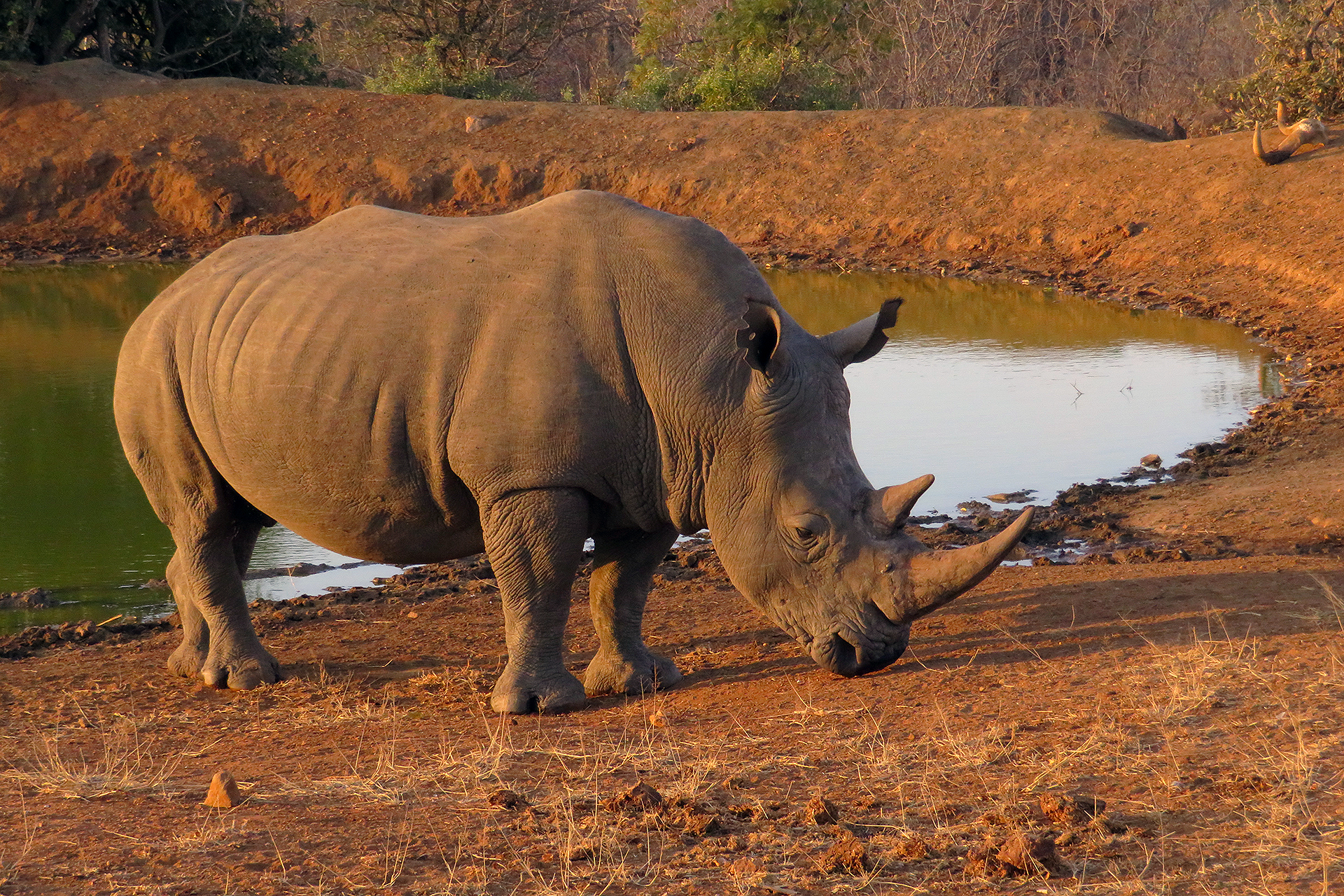 Rhino at waterhole.