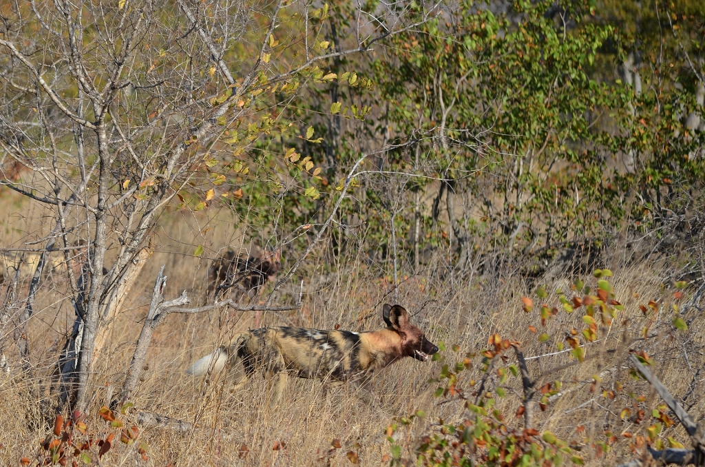 Painted dogs at Simbavati, South Africa.