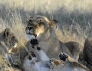 Sable Sands - lion family