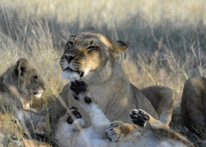 Sable Sands - lion family