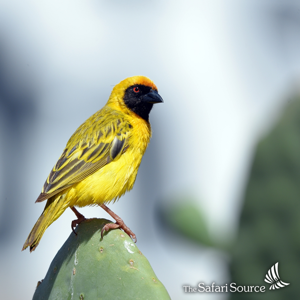 Southern masked weaver - a common bird across southern Africa.