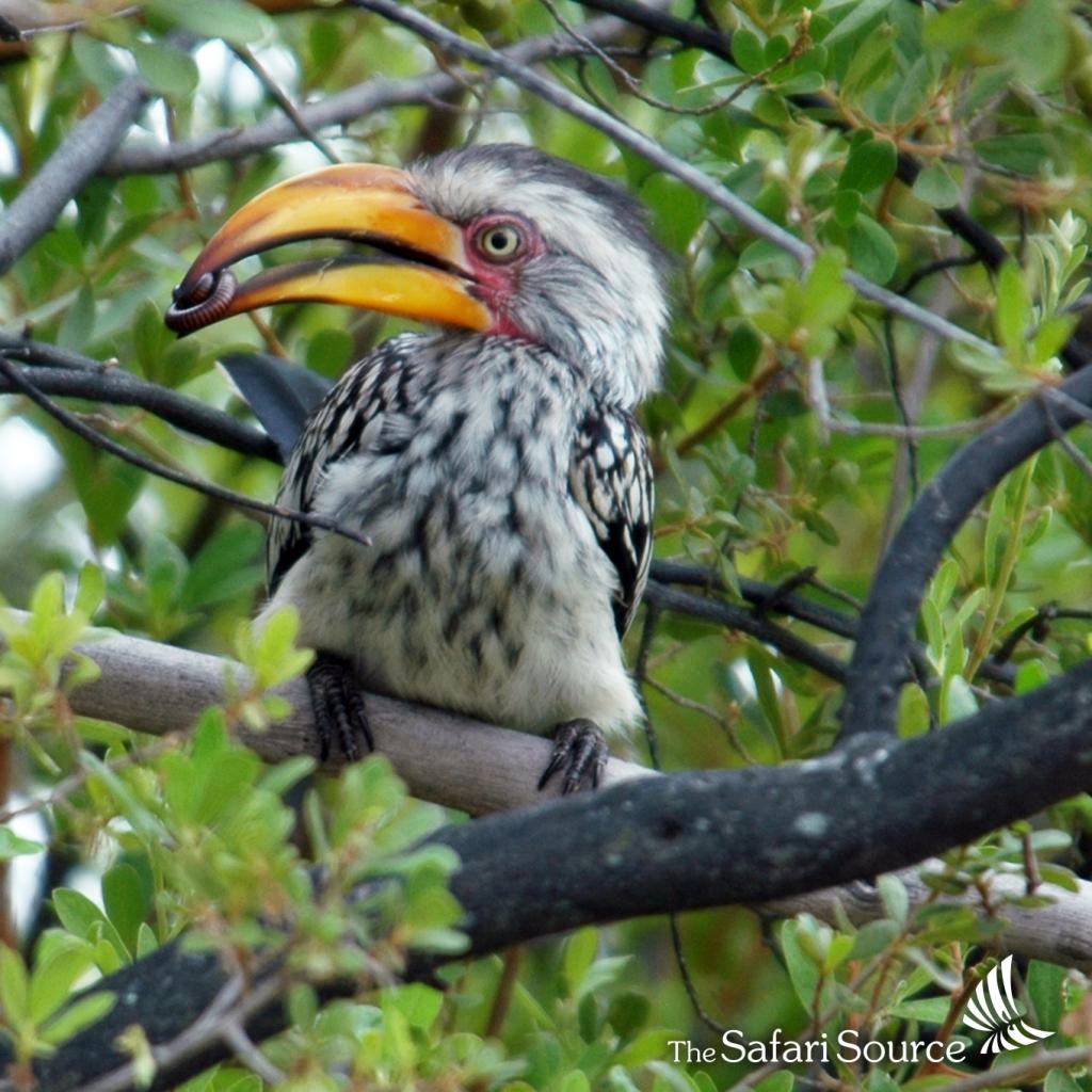 Yellow-Billed Hornbill - unmistakeable!