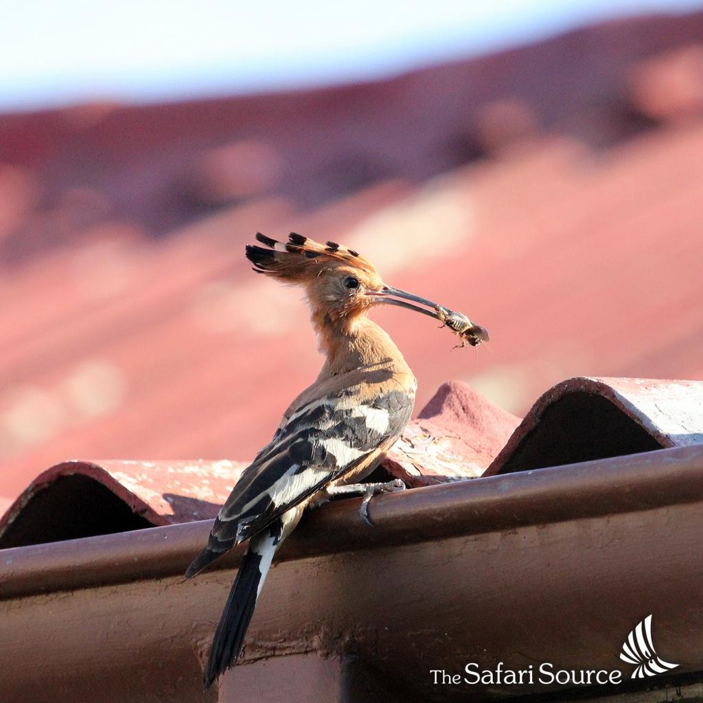 African Hoopoe bringing a snack.