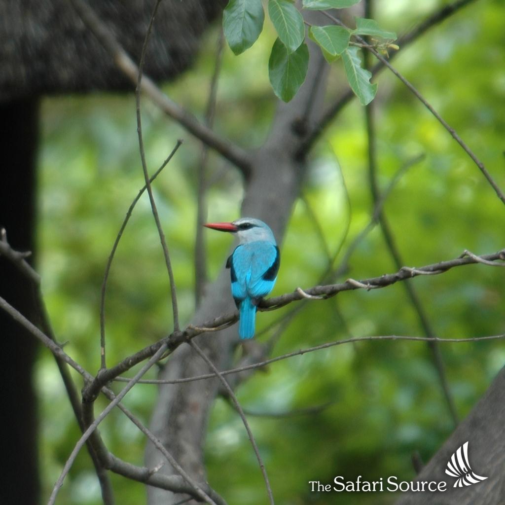 Woodland Kingfisher.